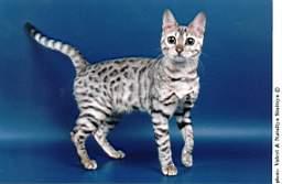 Леопардовый окрас кошек фото - Всё о кошках и котах.